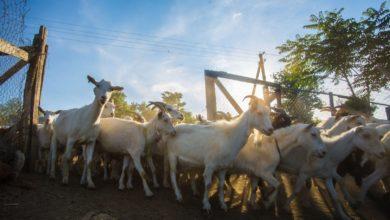 Photo of Ваші сири кращі, ніж у Франції, – у чому успіх крафтових сироварень та козячих ферм України