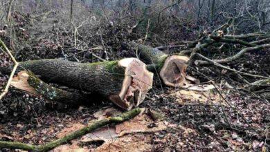 Photo of На Стрийщині незаконно зрубали понад 100 столітніх дубів