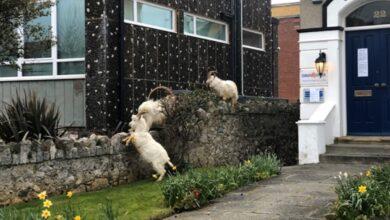 Photo of Стадо кіз заполонило місто в Уельсі через карантин
