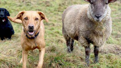 Photo of У Британії знайшли вівцю, яка лає та дружить з собаками: кумедні фото