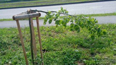Photo of На Княгині Ольги невідомі зламали 8 молодих дерев