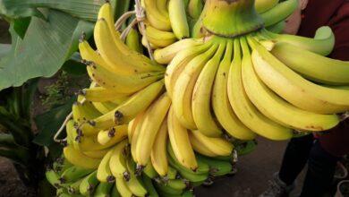 Photo of Подорож у тропічний рай: як біля Львова вирощують банани, папаю та маракуйю