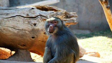 Photo of Мавп-втікачів з одеського зоопарку спіймали за допомогою транквілізаторів