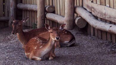 Photo of Хотіла врятувати: в Одеському зоопарку через відвідувачку померло дитинча козулі