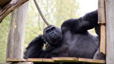 Photo of Під загрозою вимирання: в Нігерії вперше сфотографували річкових горил