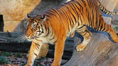 Photo of На очах у відвідувачів: у Швейцарії тигриця загризла до смерті працівницю зоопарку