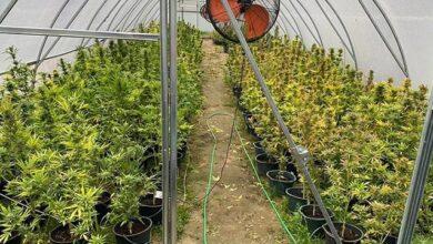 Photo of Наркотиків на 5 млн грн: на Київщині затримали власника плантації конопель