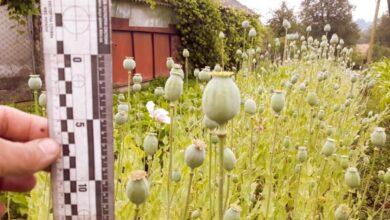 Photo of Мешканка Сокальщини виростила рекордно велику плантацію маку