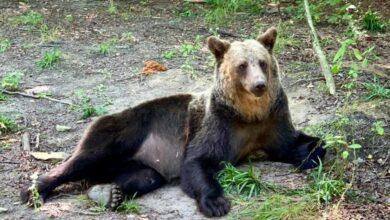Photo of Львів'ян запрошують відсвяткувати День Незалежності з ведмедями у притулку «Домажир»