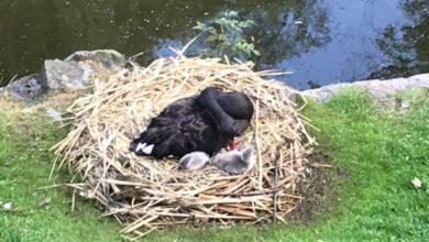 Photo of У пари чорних лебедів у Стрийському парку з'явились пташенята