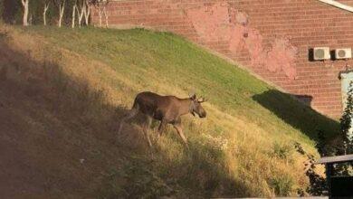 Photo of Гуляв у дворах багатоповерхівки: на вулицях Києва помітили лося