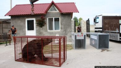 Photo of У притулку «Домажир» поселяться двоє нових ведмедів