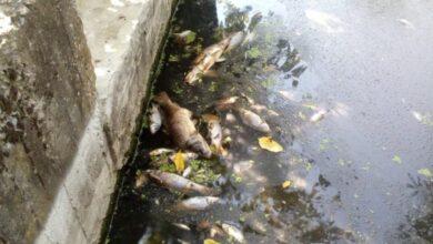 Photo of У Кам'янці-Бузькій масово загинула риба