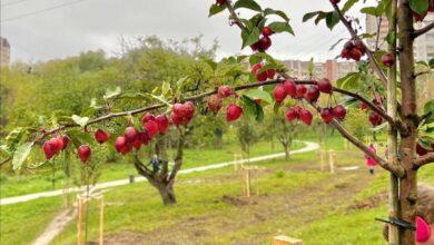 Photo of У парку 700-річчя Львова відновили яблуневий сад