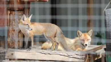 Photo of Чому Домівка врятованих тварин опинилася на межі закриття: пояснення міськради Львова